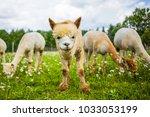 Portrait Of A Cute Alpaca...