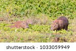 capybara  largest rodent in its ...   Shutterstock . vector #1033059949