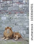Small photo of Male lion with long thick mane laying in front of old rock wall texture in zoo.