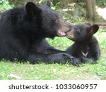 Mother black bear nurturing her ...