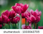 tulips in spring at the garden | Shutterstock . vector #1033063705