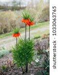 blooming crown imperial ... | Shutterstock . vector #1033063765