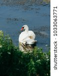 lake with a white swan  | Shutterstock . vector #1033063771