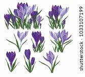Vector Set Of  Purple Crocuses