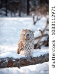 Small photo of White owl with a brown feathers sits on the trunk of a fallen pine on the winter background of the Siberian forest. Night bird of prey with a black eyes. Blurred Taiga landscape with blue snowdrifts.