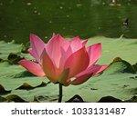 pink lotus in the garden   Shutterstock . vector #1033131487