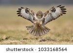 common buzzard  buteo buteo  | Shutterstock . vector #1033168564