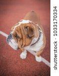 English Bulldog Outdoor...