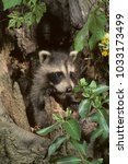Small photo of baby Raccoon in tree (Procyon lotor)