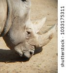 Small photo of approach to face of white rhino, endangered species