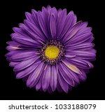 violet yellow gerbera flower ... | Shutterstock . vector #1033188079