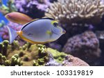 Small photo of Naso Lituratus Acanthuridae tropical fish Orangespine unicornfish