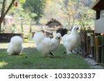 White Silky Chicken
