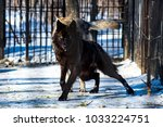 black wolf in the snow in a cage | Shutterstock . vector #1033224751