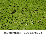 duckweed  or water lens  are...   Shutterstock . vector #1033275325