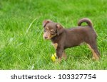 Stock photo cute puppie dog weeks with ball 103327754