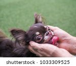 Small photo of Dog owner palms gently caress his dog's head with love while the dog is panting/ stuck out the tongue. Dog looks thirsty.