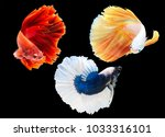 Small photo of group of beautiful Multi color Siamese fighting fish,Betta splendens,Orange white tone on black background,isolated.