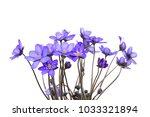 hepatica nobilis  anemone... | Shutterstock . vector #1033321894