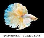 beautiful white thai fighting... | Shutterstock . vector #1033335145