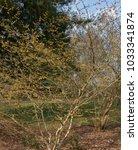 witch hazel  hamamelis x... | Shutterstock . vector #1033341874