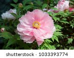 pink peony. peony is an ancient ... | Shutterstock . vector #1033393774