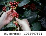 close up hand picking coffee... | Shutterstock . vector #1033447531