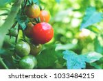 fresh ripe red tomatoes and...   Shutterstock . vector #1033484215