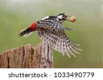 great spotted woodpecker ... | Shutterstock . vector #1033490779
