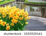 narcissus flowers in garden.   Shutterstock . vector #1033520161