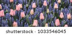 pink tulips and muscari... | Shutterstock . vector #1033546045