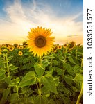 Sunflower field landscape close ...