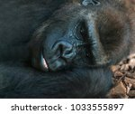 gorilla  family and baby | Shutterstock . vector #1033555897