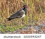 red wattled lapwing bird | Shutterstock . vector #1033593247