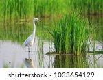 great egret  ardea alba  in...   Shutterstock . vector #1033654129