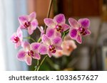 Spotted Phalaenopsis Orchids....