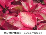 red plant leaf with drops of... | Shutterstock . vector #1033740184