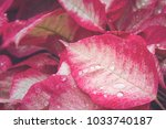 red plant leaf with drops of... | Shutterstock . vector #1033740187