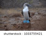 galapagos blue footed booby on... | Shutterstock . vector #1033755421