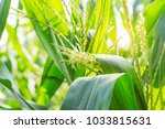 corn leaves and pollen with the ... | Shutterstock . vector #1033815631