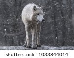 Arctic Wolf At Snow