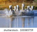 Herd Of White Horses Running...