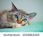 Blue Eye Cat Isolation