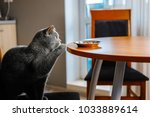 cat is reaching for food   food ... | Shutterstock . vector #1033889614