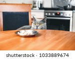 Stock photo cat is looking at food watches over food sly beautiful british gray cat close up cat looks out 1033889674
