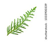 Small photo of Juniper or Cade Plant Branch Isolated on White