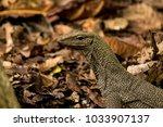 varanus lizard in the... | Shutterstock . vector #1033907137
