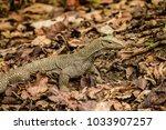 varanus lizard in the... | Shutterstock . vector #1033907257