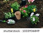 flowers in pot before planting...   Shutterstock . vector #1033936849