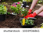 gardener woman planting flowers ... | Shutterstock . vector #1033936861